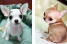 Types of Chihuahuas